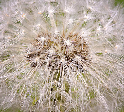 Photograph - Dandelion Fireworks by Stephen Anderson