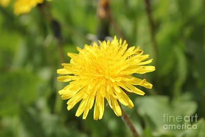 Photograph - Dandelion Flower by Donna L Munro