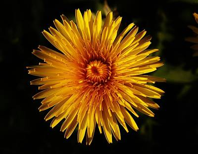 Photograph - Dandelion Flower Head by Richard Brookes