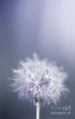 Dandelion Flower In Cold Blue Field. Winter Wish Art Print