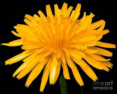 Photograph - Dandelion Flower Molten Gold Effect by Rose Santuci-Sofranko