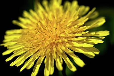 Photograph - Dandelion Flower by  Onyonet  Photo Studios