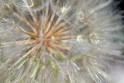 Photograph -  Dandelion Flower Seed Head Closeup by Jit Lim