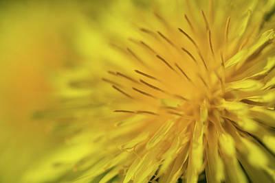Typographic World - Dandelion Flower,tarassacum Officinalis, Close Up by Elisabetta Poggi
