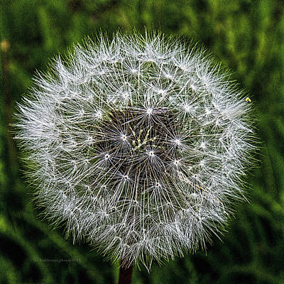 Photograph - Dandelion Fluff by Fred Denner