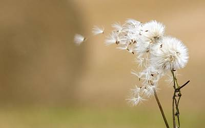 Background And Textures Photograph - Dandelion Fluff by John Short
