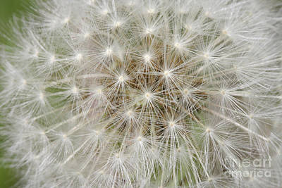 Macro Photograph - Dandelion Fluff by Judy Whitton