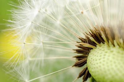 Photograph - Dandelion Fluff by Rainer Kersten