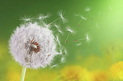 Photograph - Dandelion Flying by Bess Hamiti