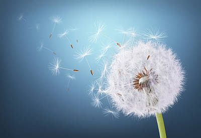 Photograph - Dandelion Flying On Background Blue by Bess Hamiti