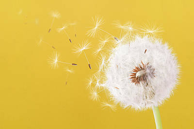 Photograph - Dandelion Flying On Colorful Background by Bess Hamiti