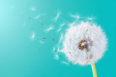 Photograph - Dandelion Flying On Turquoise Background by Bess Hamiti