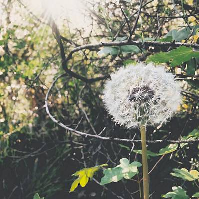 Photograph - Dandelion, I Love It When They Start To Fly by Cristina Cristo