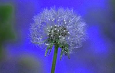 Photograph - Dandelion I by Michiale Schneider