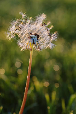 Photograph - Dandelion In An Early Morning Light by Vishwanath Bhat