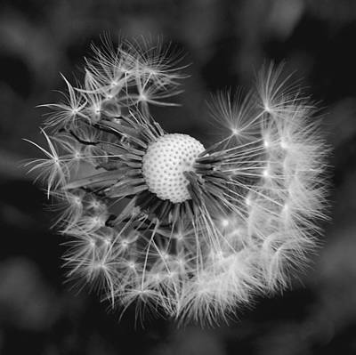 Photograph - Dandelion In Black And White by Kathleen Stephens