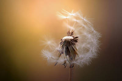 Floral Photograph - Dandelion In Brown by Jolanta Zychlinska