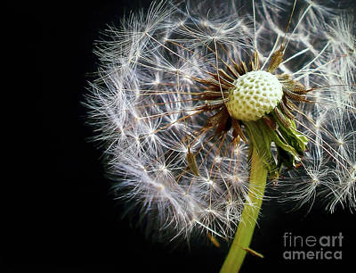 Photograph - Dandelion In The Breeze by Kaye Menner