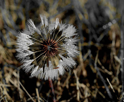 Photograph - Dandelion In The Dew by Karen Harrison