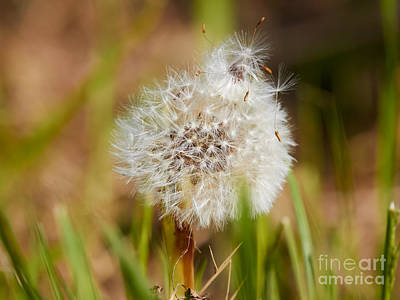 Photograph - Dandelion In The Grass by Nick  Biemans