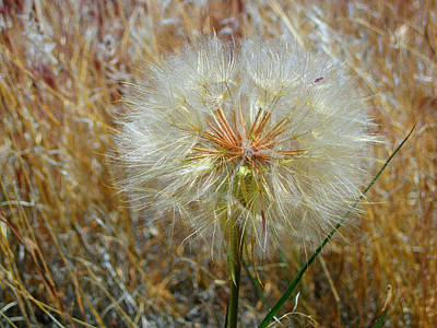 Photograph - Dandelion by Jennifer Muller