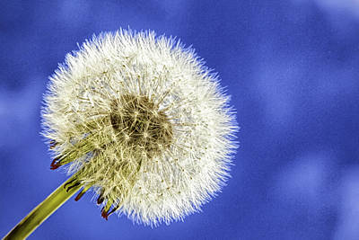Photograph - Dandelion by Jodi Jacobson