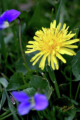 Photograph - Dandelion by Judi Quelland
