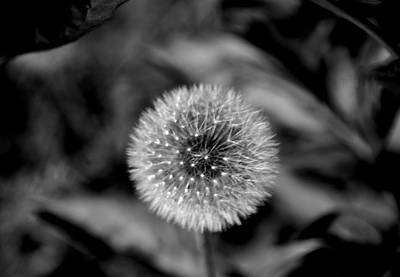 Photograph - Dandelion by Kathleen Stephens