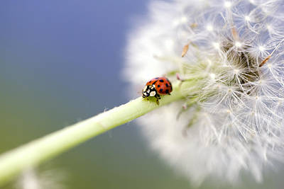 Blume Photograph - Dandelion Ladybugs by Falko Follert