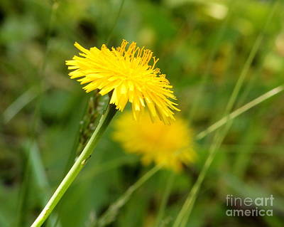 Photograph - Dandelion by Leone Lund