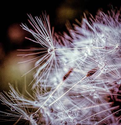 Photograph - Dandelion Macro by Lilia D