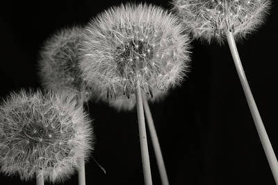 Photograph - Dandelion by Mike Eingle