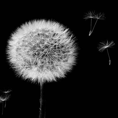 Photograph - Dandelion Mono by Alex Saunders
