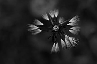 Photograph - Dandelion by Morgan Wright