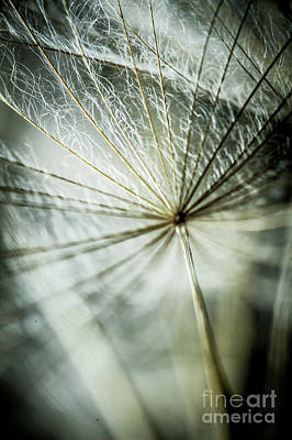 Photograph - Dandelion Petals by Iris Greenwell