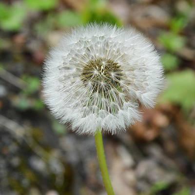 Photograph - Dandelion Puff by rd Erickson