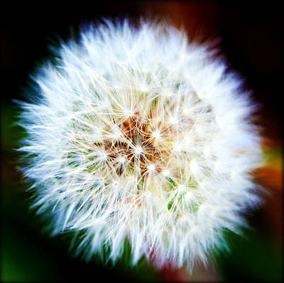 Photograph - Dandelion Puff by Susie Weaver