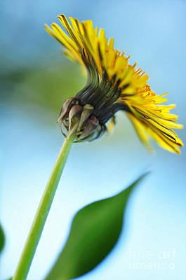 Dandelion Photograph - Dandelion Reaching High by Kaye Menner