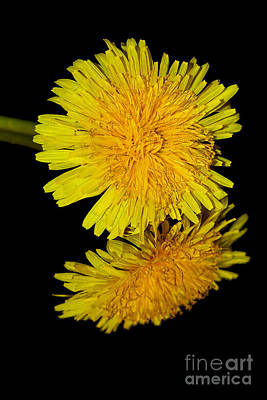 Dandelion Reflecting By Kaye Menner Art Print by Kaye Menner
