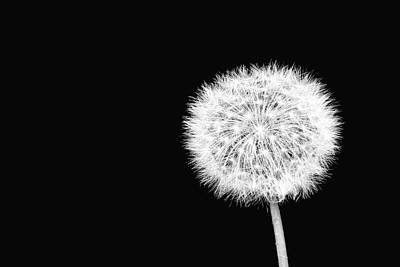 Photograph - Dandelion by Richard Macquade
