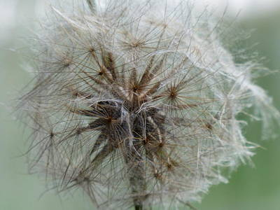 Photograph - Dandelion by Rosanne Licciardi