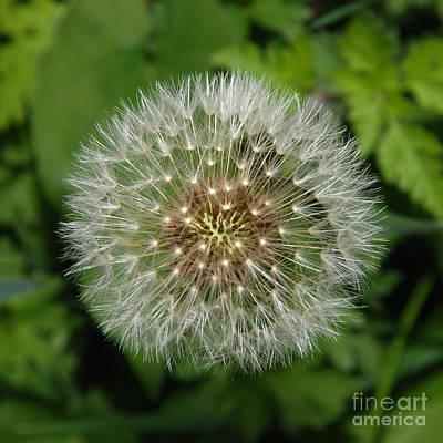 Queen - Dandelion Seed Ball by Marv Vandehey