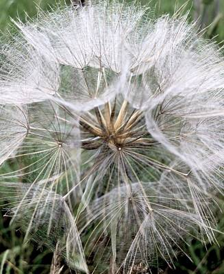 Nature Photograph - Dandelion Seed Head  by Kathy Spall