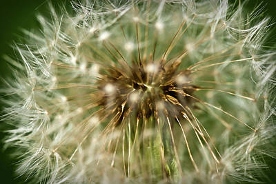 Photograph - Dandelion Seed Head by  Onyonet  Photo Studios