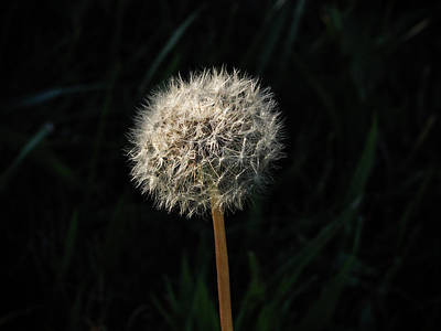 Photograph - Dandelion Seed Head by Robin Zygelman