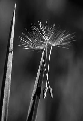 Dandelion Photograph - Dandelion Seed Heads Monochrome by Lise-Lotte Larsson