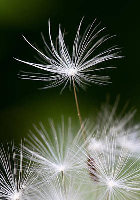 Botanic Photograph - Dandelion Seed by Lise-Lotte Larsson