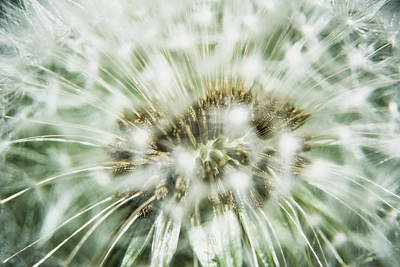 Owls - Dandelion seeds by Claudia Heidelberger