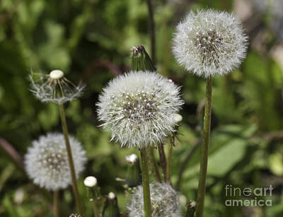 Photograph - Dandelion Seeds by Donna L Munro