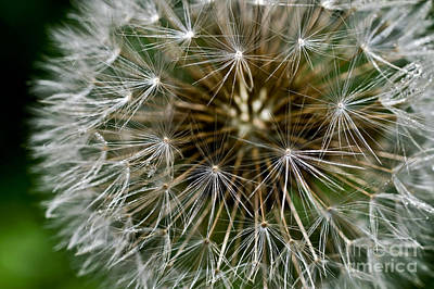 Designs In Nature Photograph - Dandelion Seeds by Dr. Antoni Agelet